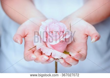 Nails, Hands, Rose Close-up. Natural Manicure Nails. Beautiful Girl Hands Holding Pink Rose. Rose In