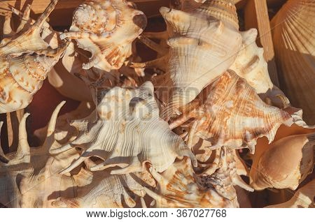 Sea Mollusks Close-up. Background From Exotic Shells. Top View Close Up Of Mollusk. Texture Of Shell