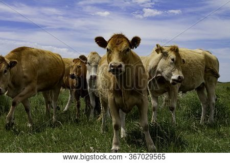 Beige Cows Of The Blonde Aquitaine Breed. Little Calf In The Group. Field Landscape With Cattle Bree