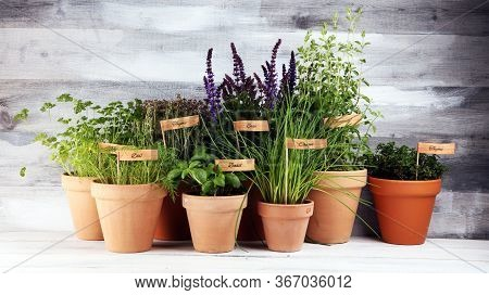 Homegrown And Aromatic Herbs In Old Clay Pots. Set Of Culinary Herbs. Green Growing Basil, Parsley A