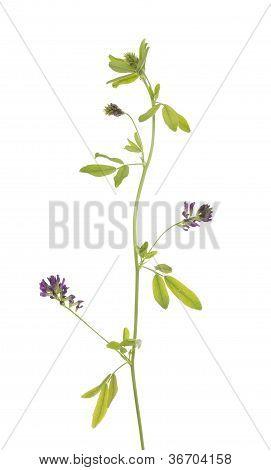 Flower Lucerne