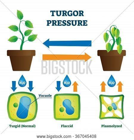 Turgor Pressure Vector Illustration. Labeled Hydrostatic Force Educational Explanation Scheme. Plasm