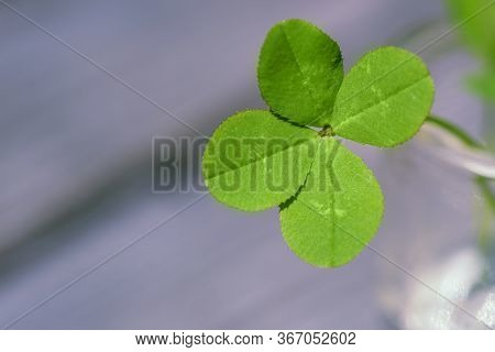 Four Leaf Clover. Four Leaf Clover Background For Good Luck. Green Clover Close-up.