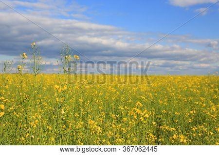 rape meadow in Ukraine. Sunny landscape with clouds over rape farming field