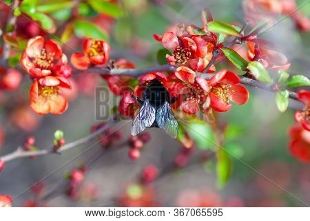 Bumblebee Pollinates Blooming Quince Shrub (chaenomeles Speciosa, Chaenomeles Japonica )