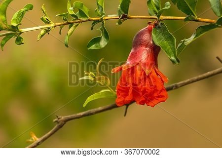 Red Pomegranate Flowers And Its Green Leafs On Pomegranate Framing Garden. Pomegranate Trees Are Sel