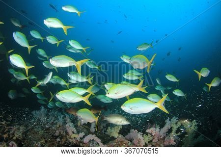 Yellow snapper fish in blue water on coral reef
