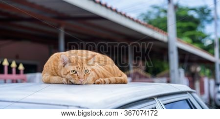 Beautiful Short Yellow Hair Cat Is Lying On The Roof And Looking Into The Camera With Sweet Yellow E