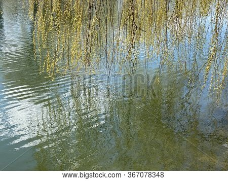 Willow Tree Branches With Fresh And Pointy Leaves Hanging Over Lake Surface And Reflecting In Water