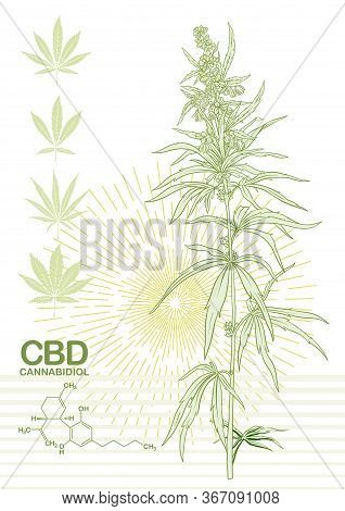 Hemp, Cannabis Plant. Template, Poster, Card, Good For Product Label. Vector Illustration In Light G