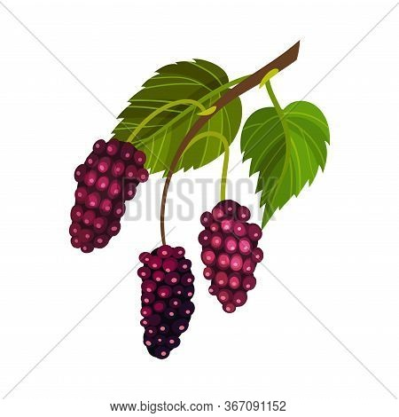Red Mulberry Fruit Hanging On Tree Branch Resembling Blackberry Vector Illustration
