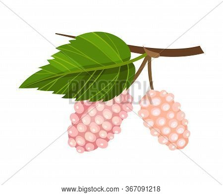 Mulberry Branch With Immature Pink Berries Vector Illustration
