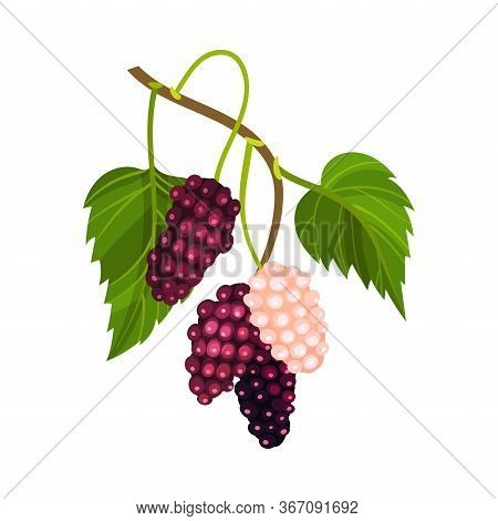 Mulberry Branch With Immature Pink Berries And Ripe Black Ones Vector Illustration