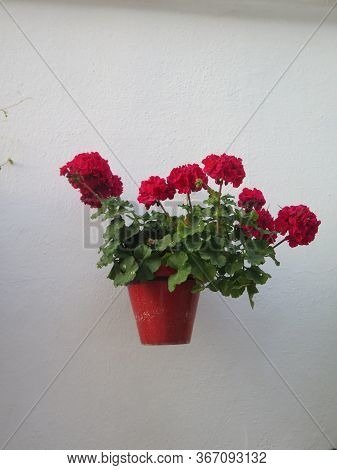 Healthy Red Geranium In Pot On Village Wall