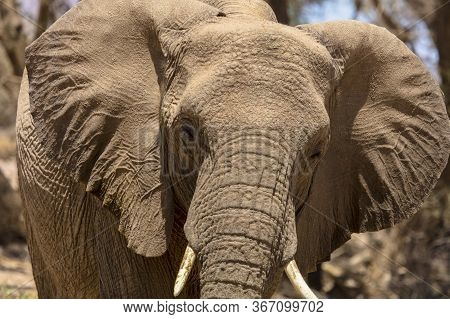 Close-up Shot Of An Elephant\'s Head Showing The Ears Extended. Namibia.