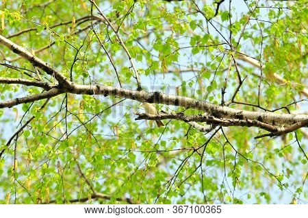 Spring Crown Of A Birch Tree With A Small Bird On A Branch.the Greenish Warbler Bird (phylloscopus T