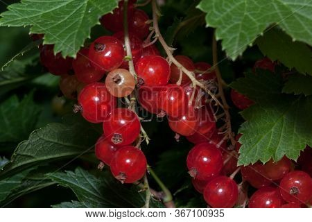 Redcurrant Berries Are Growing In The Summer Garden. Bunch Of Berries With Fresh Green Leaves.