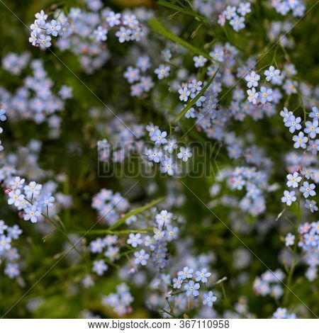 Myosotis Or Forget-me-not Flowers On The Meadow As A Seamless Pattern Background, Selected Focus, Na