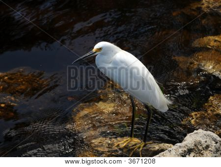 Snowy egret (egretta thula) commonly seen in Florida poster