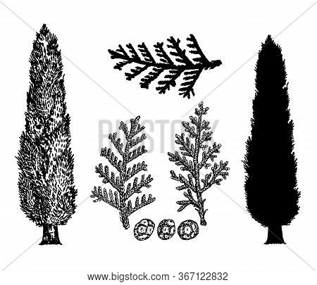 Hand Drawn Vector Illustration Of Cypresses. Vintage Style. Branches And Cones Of Cypress. Silhouett