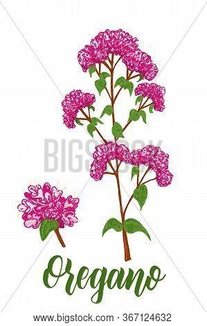 Origanum Vulgare, Oregano Color Vector Hand Drawn Sketch. Culinary Herbs Collection. Great For Cooki