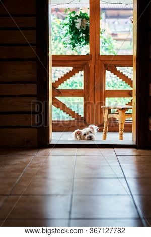 White Fluffy Dog Relax On Threshold Of The Wooden House. Pets, Family Concept
