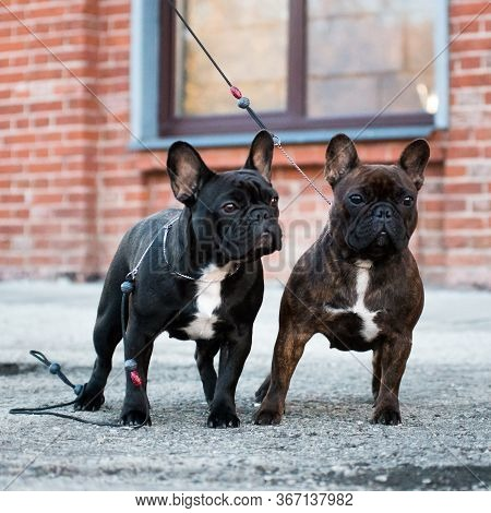 Two Bitches Of A French Bulldog, Brown And Black, Against A Brick Wall, One On A Leash, The Other Wi