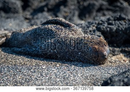 Galapagos Sea Lion Pup Asleep On Sand