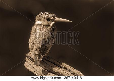 Sepia Malachite Kingfisher On Branch Facing Camera