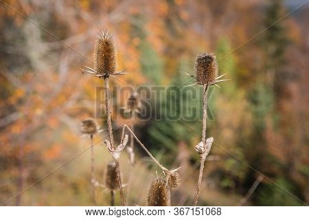 Dry Thorny Stems And Seed Heads Of Common Teasels (dipsacus Fullonum Aka Fuller\'s Teasel Or Dipsacu