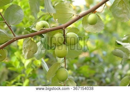Ziziphus Mauritiana, Also Known As Chinese Date,chinee Apple, Indian Plum, Indian Jujube, Ber Fruit