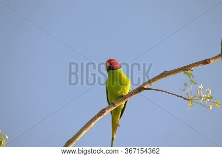 Plum-headed Parakeet Sitting On Tree Branch And Sky Background, Red Headed Parrot Perching On Tree I