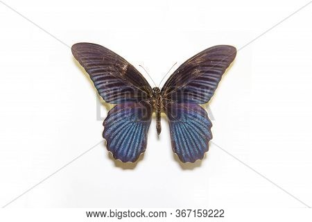 Beautiful Bright Butterfly Papilio Memnon Black With Lilac Rays Isolated On A White Background. The