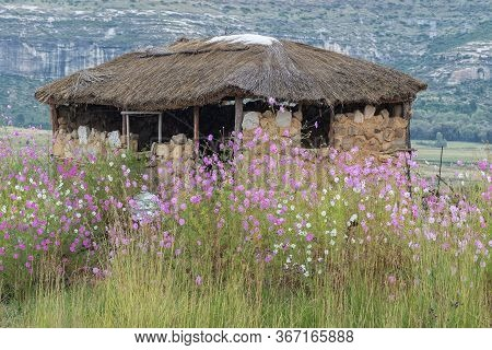 Fouriesburg, South Africa - March 20, 2020: Cosmos Flowers In Front Of The Ruin Of A Farm Stall Next