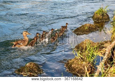 Mother Duck With Baby Duckling In Danger On Water