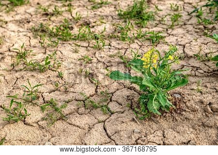 Drought Land At Agriculture Field. Rapeseed Flower And Dry Soil