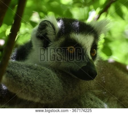 Cute Ring-tailed Lemur Resting In A Tree In The Jungle