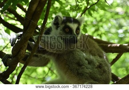 Beautiful Ring-tailed Lemur Relaxing In A Tree