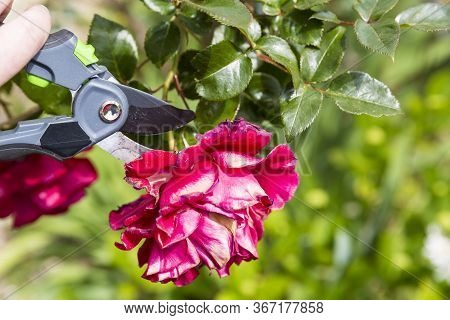 Hand Using Shears To Cut Wilted Red Rose Flower, In Garden. Authentic Scene In Spring Time