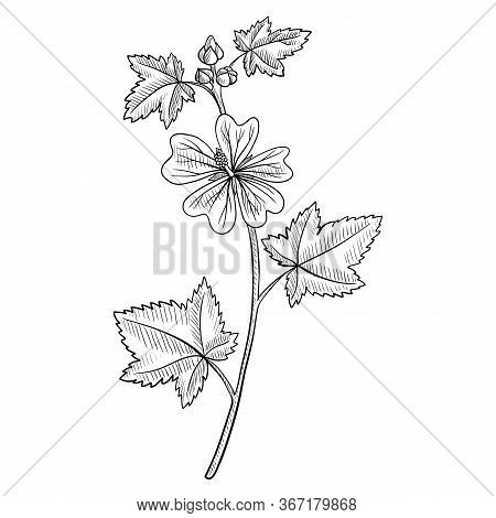 Vector Drawing Mallow Flower, Malva Sylvestris, , Hand Drawn Illustration