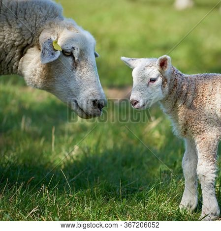 Ewe With A Newborn Lamb On A Meadow In Spring