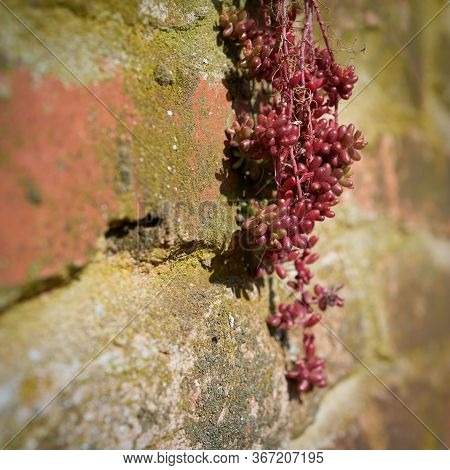 Survival Of Stonecrop (sedum Brevifolium Dc.) On A Wall Of Natural Stone