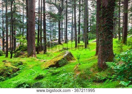Deodar Trees In Manali Nature Park, Public Park Near Manali Village In Himachal Pradesh In North Ind