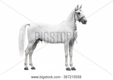 The Beautiful Gray Stallion Orlov Trotter Breed In Traditional Russian Harness Stand Isolated On Whi