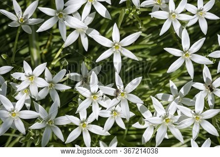 Wild Small White Flowers In The Shape Of Stars