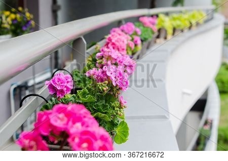 Flower Pots With Beautiful Blooming Geranium Along Balcony Railing. Cozy Summer Balcony With Many Po