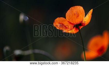 Small Poppy Closeup.macro Photography Of Flowers.poppy Buds In All Its Glory.poppy Originality.delic