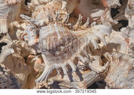 Background From Exotic Shells. Concept Group Of Sea Shells.sea Mollusks Close-up. Seashells Backgrou