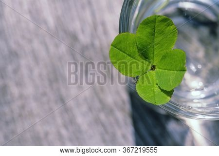 Four Leaf Clover. Green Clover Close-up. Four Leaf Clover Background For Good Luck.