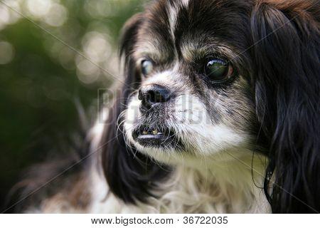 an old blind senior dog at a park